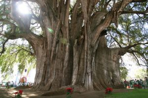 biggest trees in the world)