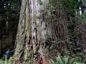 biggest trees in the world
